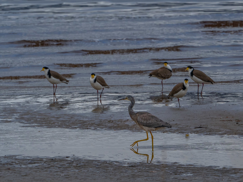 Heron and masked lapwings by gosia