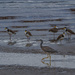 Heron and masked lapwings