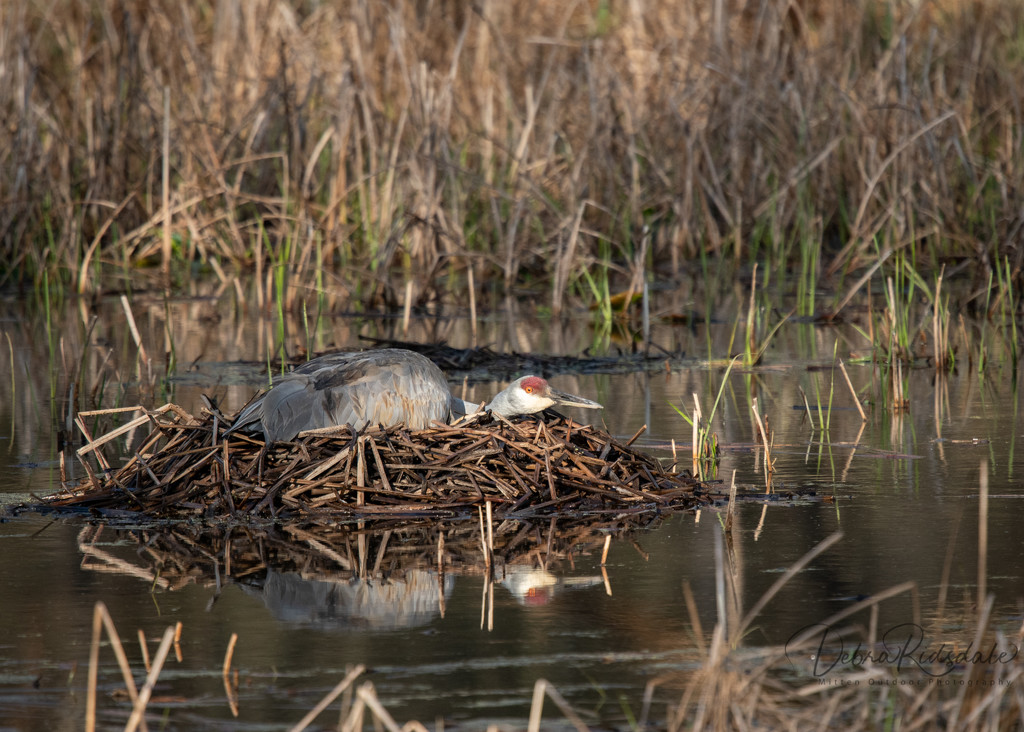 Nesting time for Sandhill Crane  by dridsdale