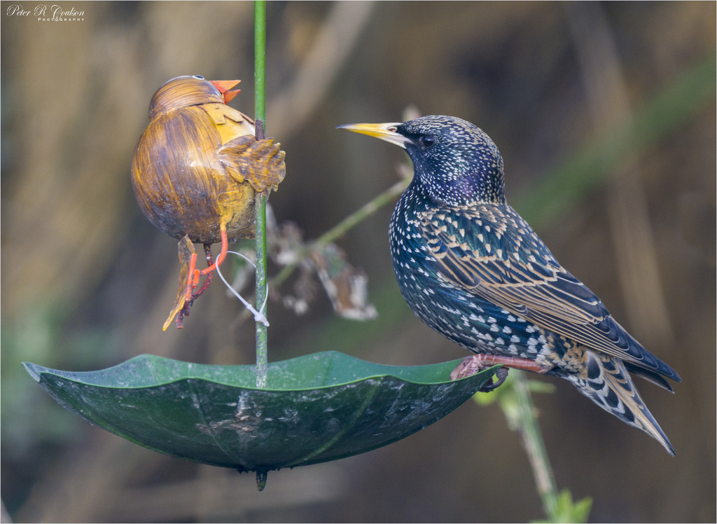 Starling at the Feeder by pcoulson