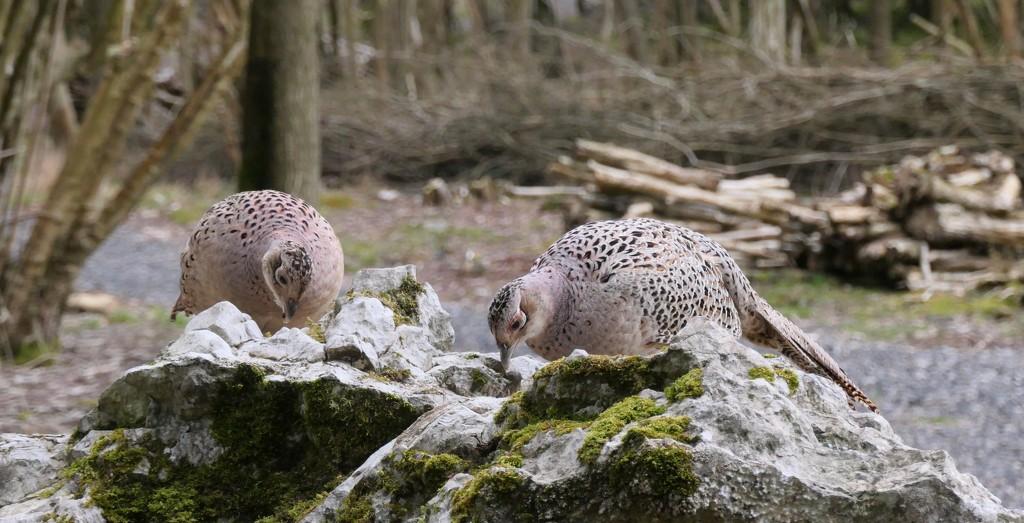 Pheasants by chris17