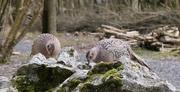 13th Apr 2021 - Pheasants