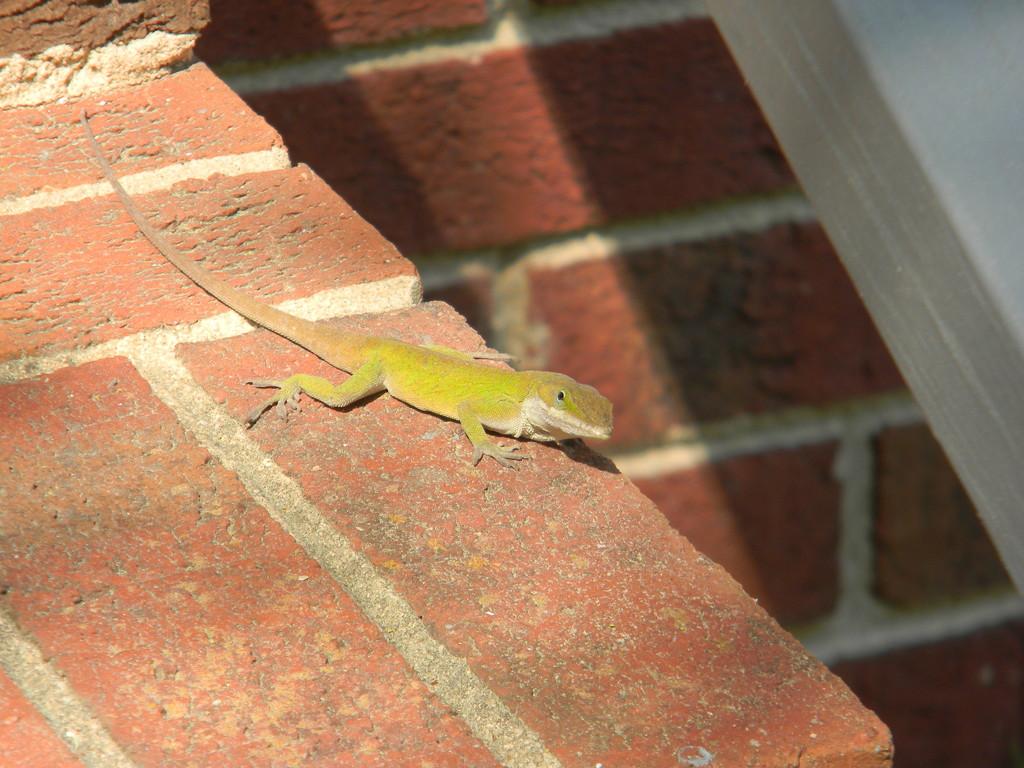 Green Lizard on Step  by sfeldphotos