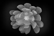 13th Apr 2021 - Saucer Magnolia