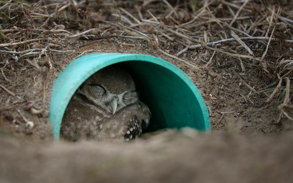 Sleeping baby owl in nest by dutchothotmailcom