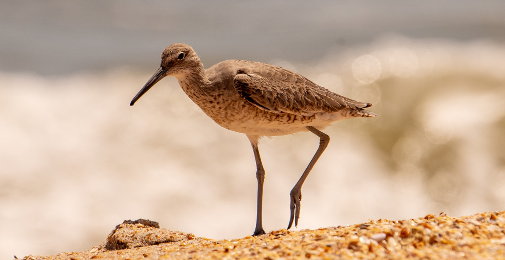 Willet Fly Away! by rickster549