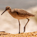 Willet Fly Away!