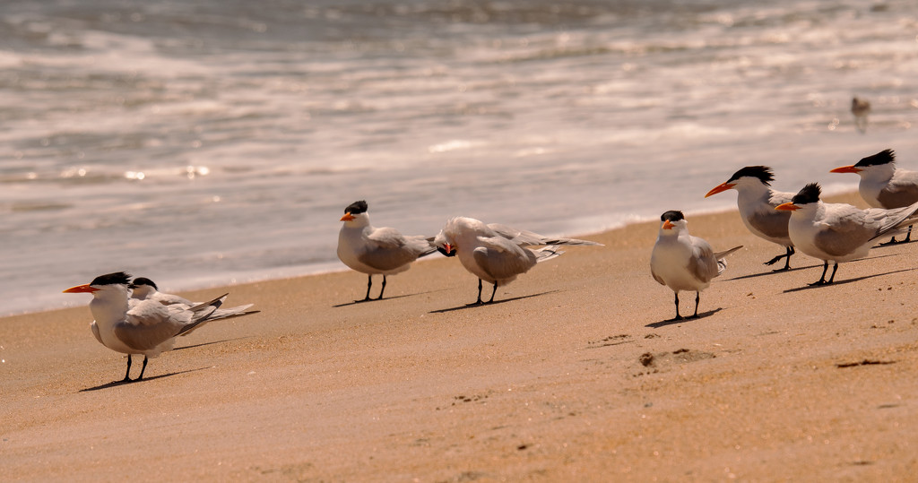 A Group of Royal Tern's! by rickster549