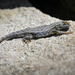 Western Fence Lizard starting to shed