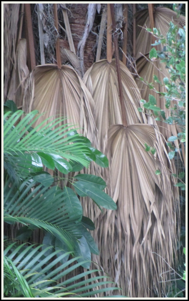 Dead fronds in the jungle below my unit by 777margo