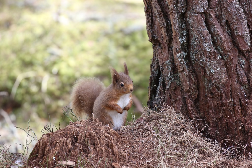 Another Braemar Squirrel by jamibann
