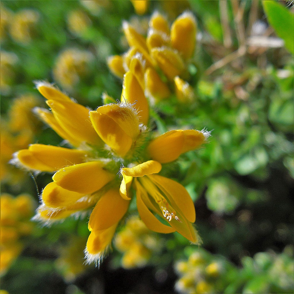 Gorse by etienne