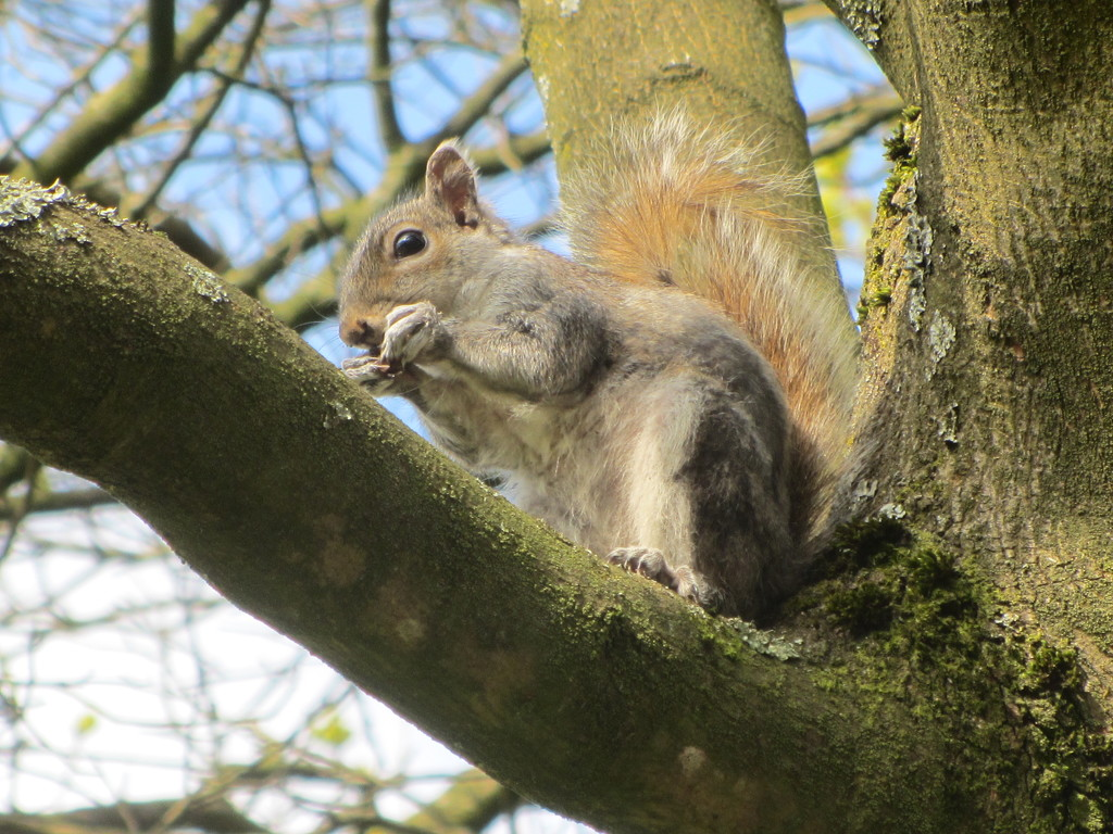 A Squirrel in a tree in Cut Wood Park. by grace55