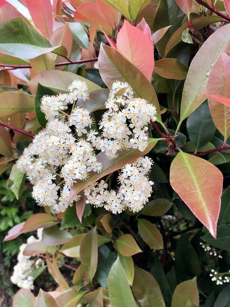 Blooming photinia by loweygrace