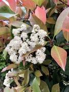 14th Apr 2021 - Blooming photinia