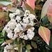 Blooming photinia