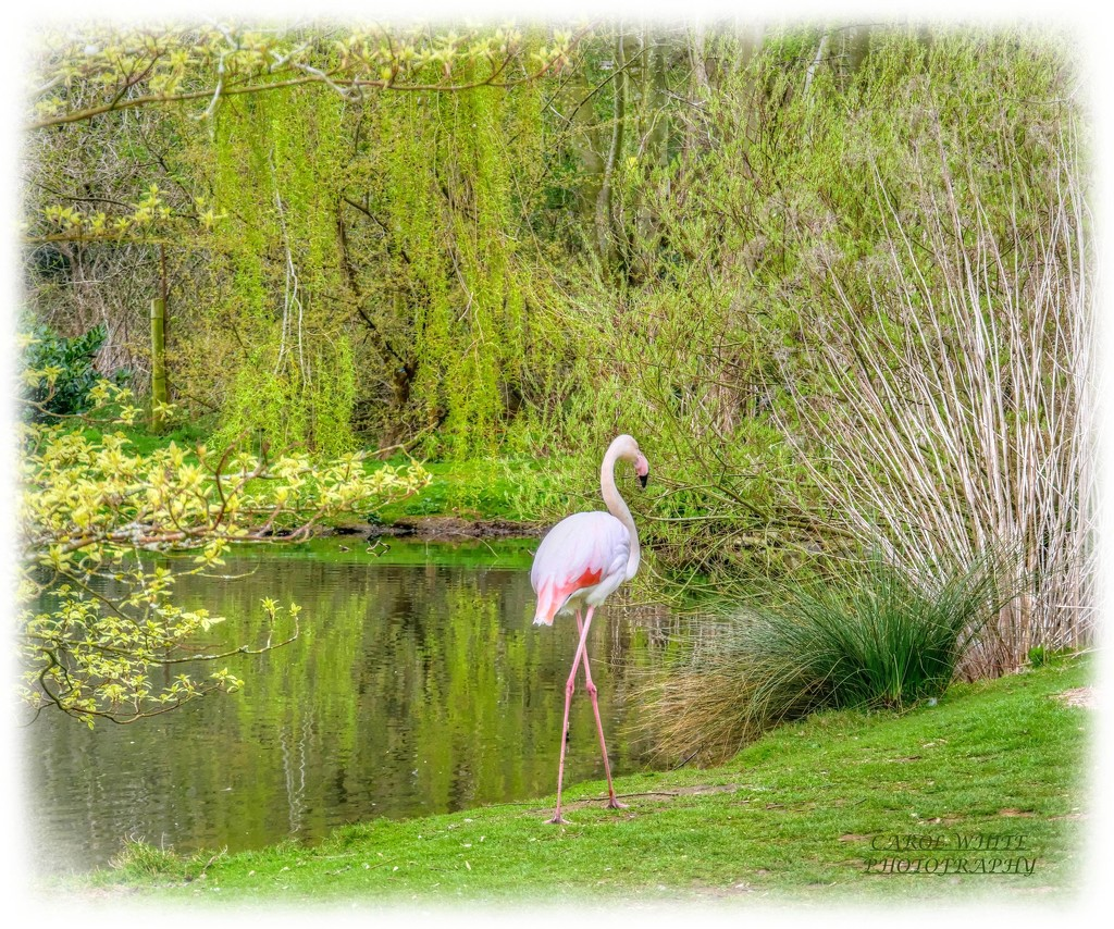 Flamingo By The Lake by carolmw