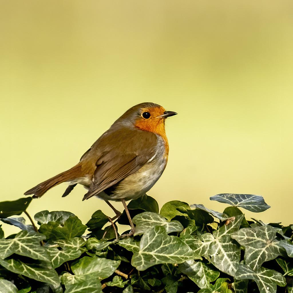 Robin on ivy by shepherdmanswife