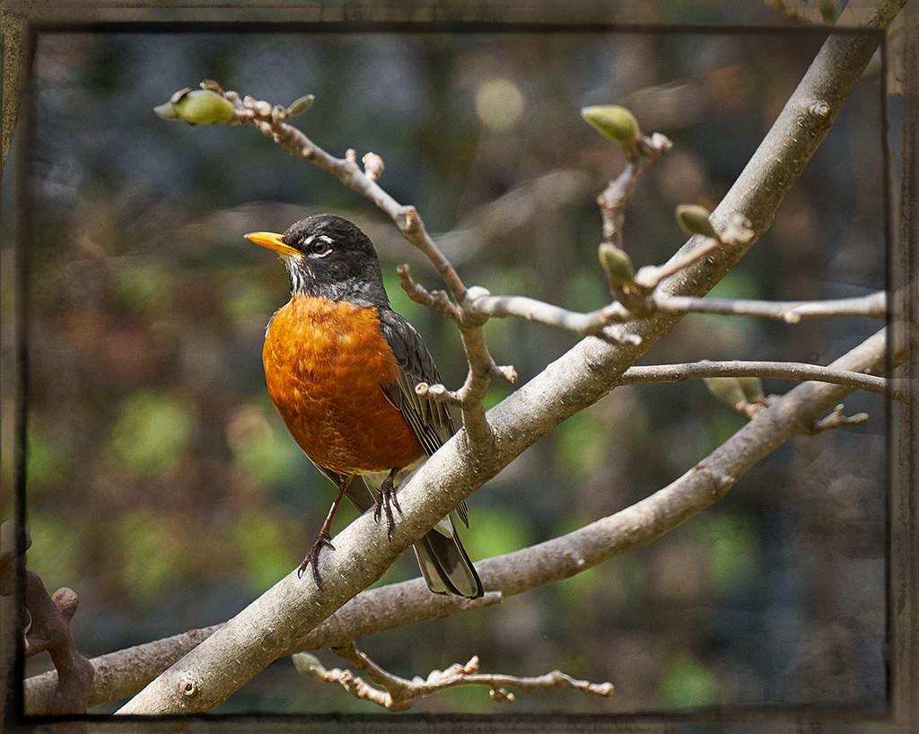 Robin in the Magnolia Tree by gardencat
