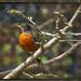Robin in the Magnolia Tree