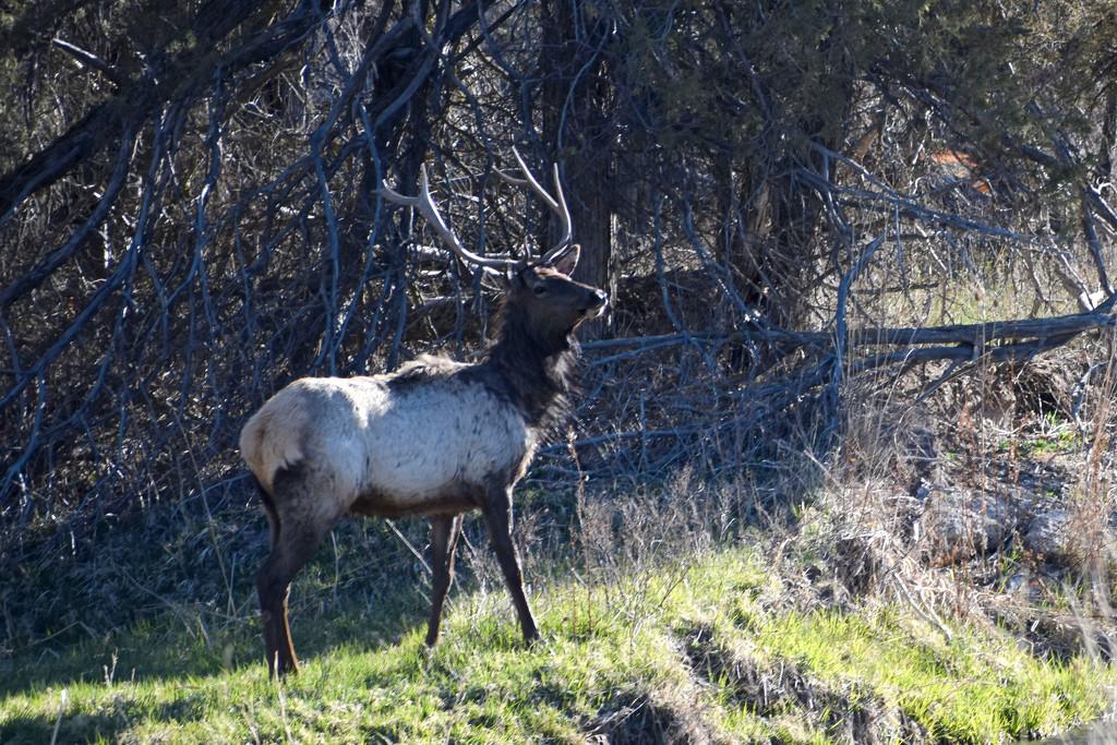Bull Elk by bjywamer