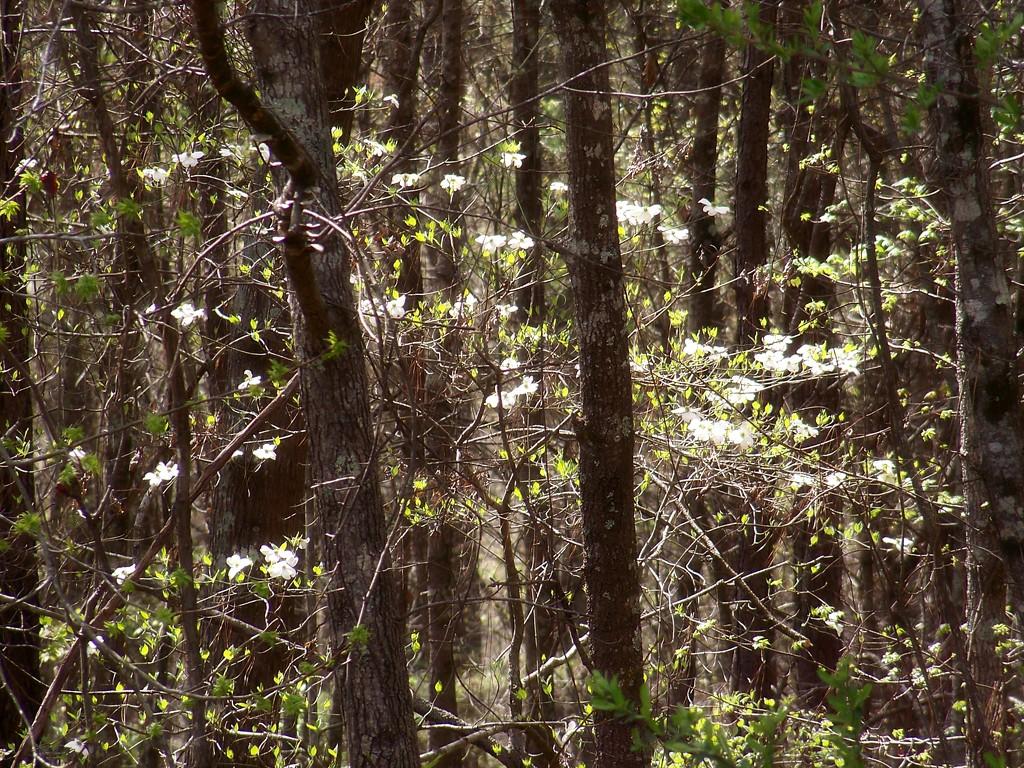 The sweetest dogwoods... by marlboromaam