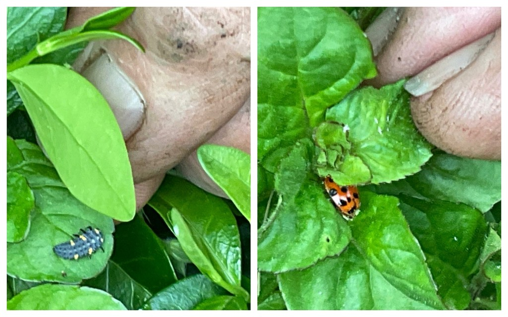 Stages of a Ladybug by allie912