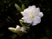 16th Apr 2021 - White blossom...