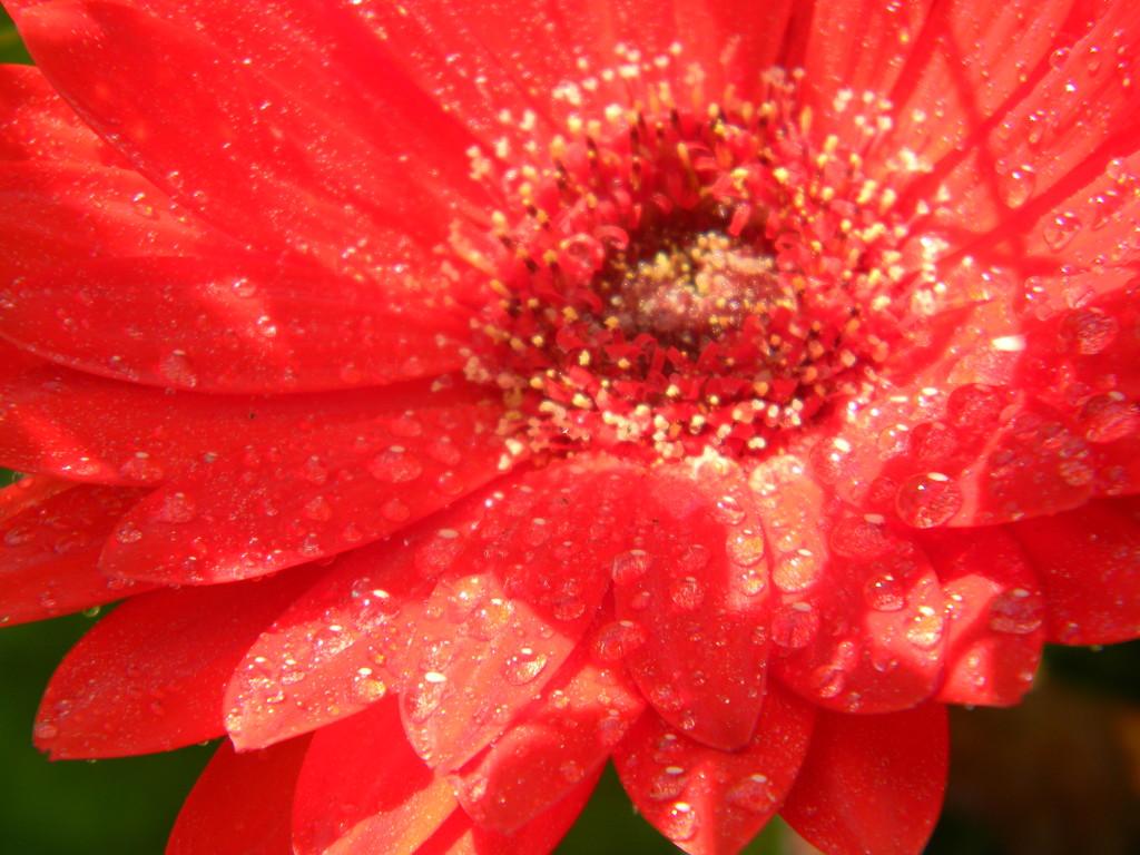 Gerbera Daisy with Raindrops by sfeldphotos