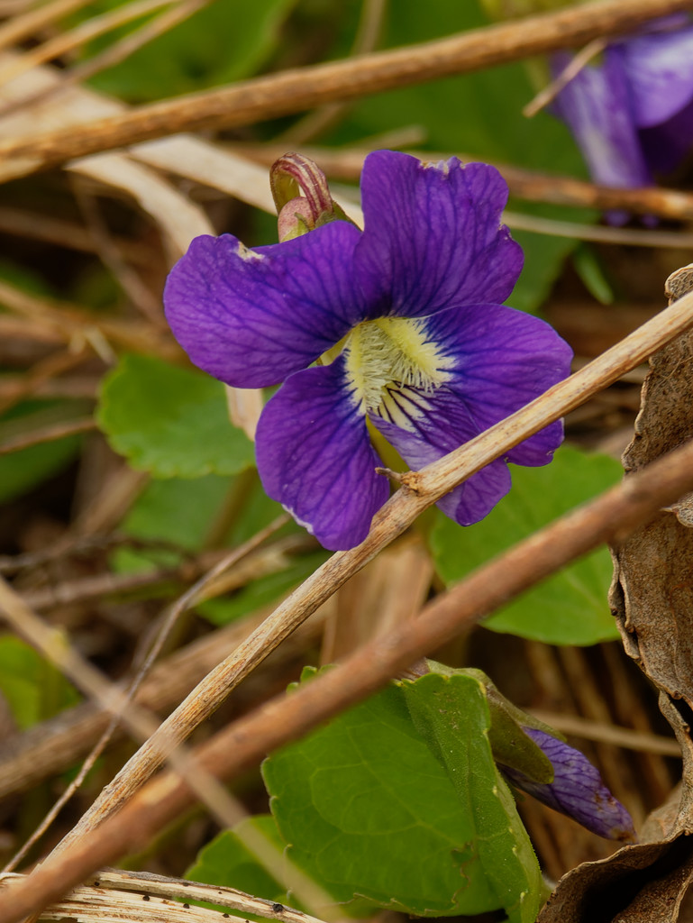 Common blue violet by rminer