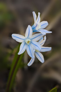 14th Apr 2021 - Striped Squill Flowers