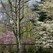 Redbuds and Dogwoods.  by calm