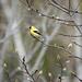 104 365 Goldfinch in Magnolia