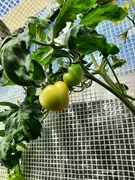 15th Apr 2021 - Tomatoes In Autumn