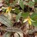 Yellow Trout Lily by annepann