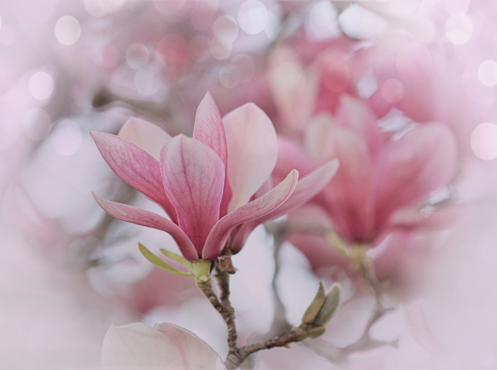 In the Magnolia Tree by lynnz