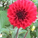 Dahlia    in neighbours garden