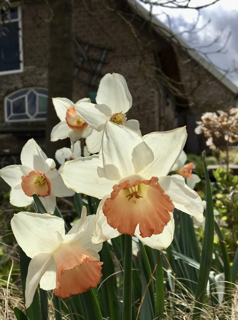 Daffodil by momamo