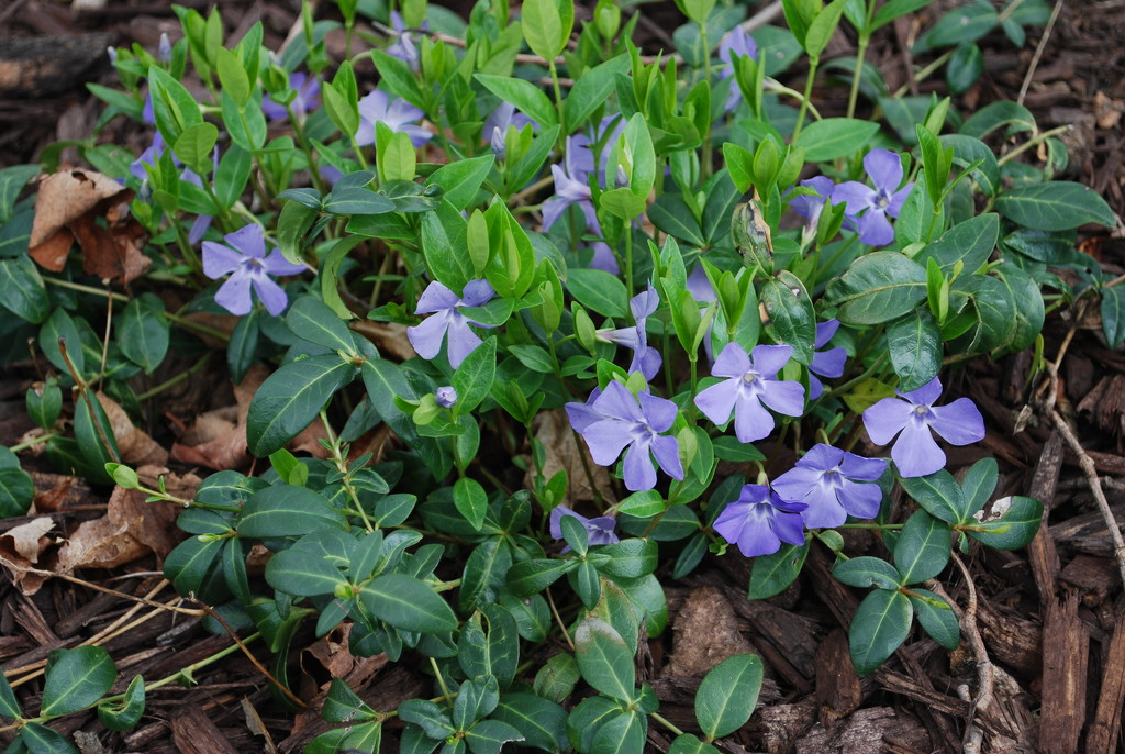 periwinkle in bloom by stillmoments33
