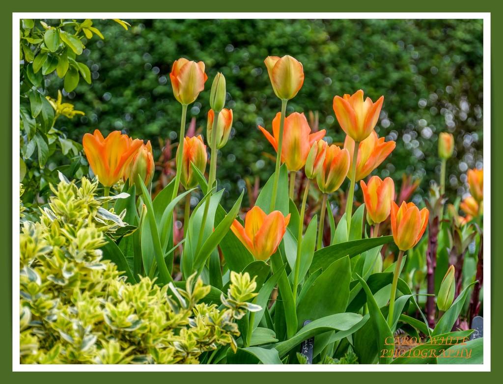 Tulips And Bokeh by carolmw