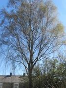 15th Apr 2021 - An old tall tree.