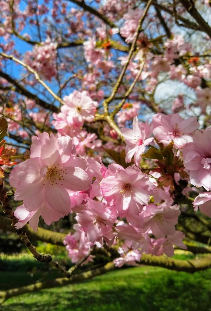 Cherry blossom, Kew Gardens by boxplayer