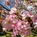 Cherry blossom, Kew Gardens