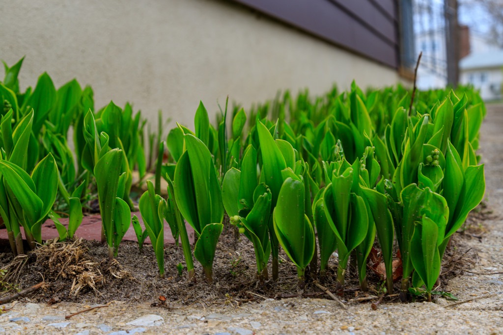Lily–of–the–Valley by hjbenson