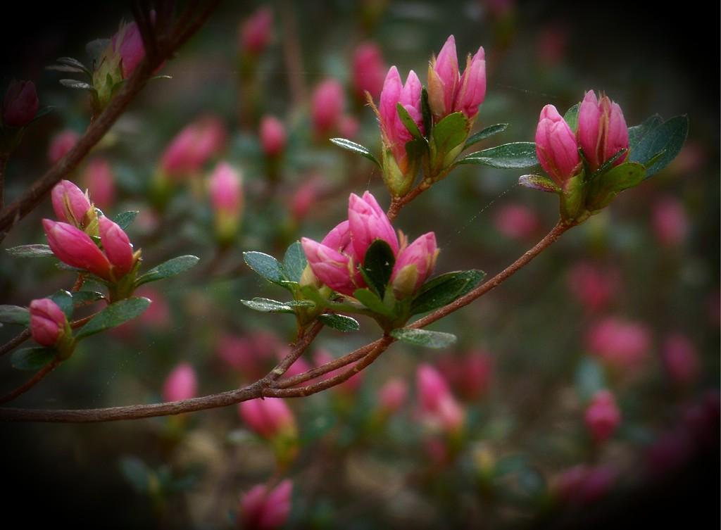 Small hot pink buds... by marlboromaam