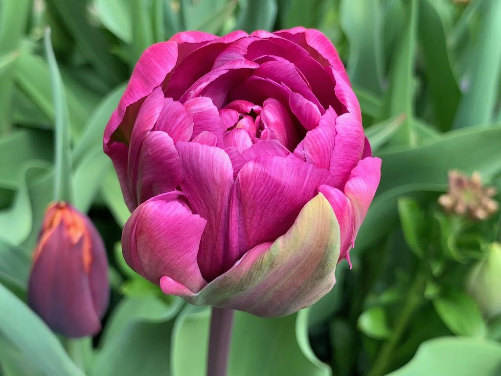 Peony tulip by 365projectmaxine