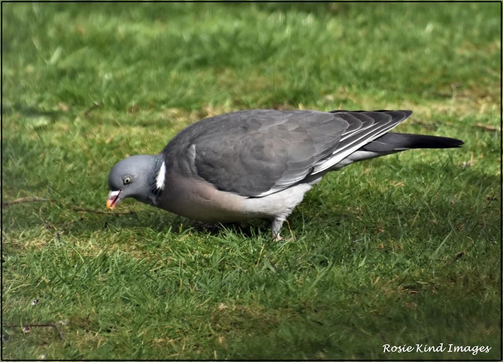 Old Wood pigeon by rosiekind
