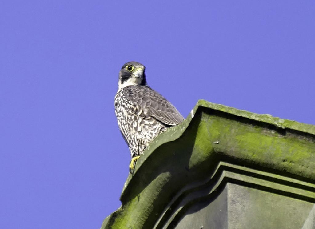 Peragin Falcon. by tonygig