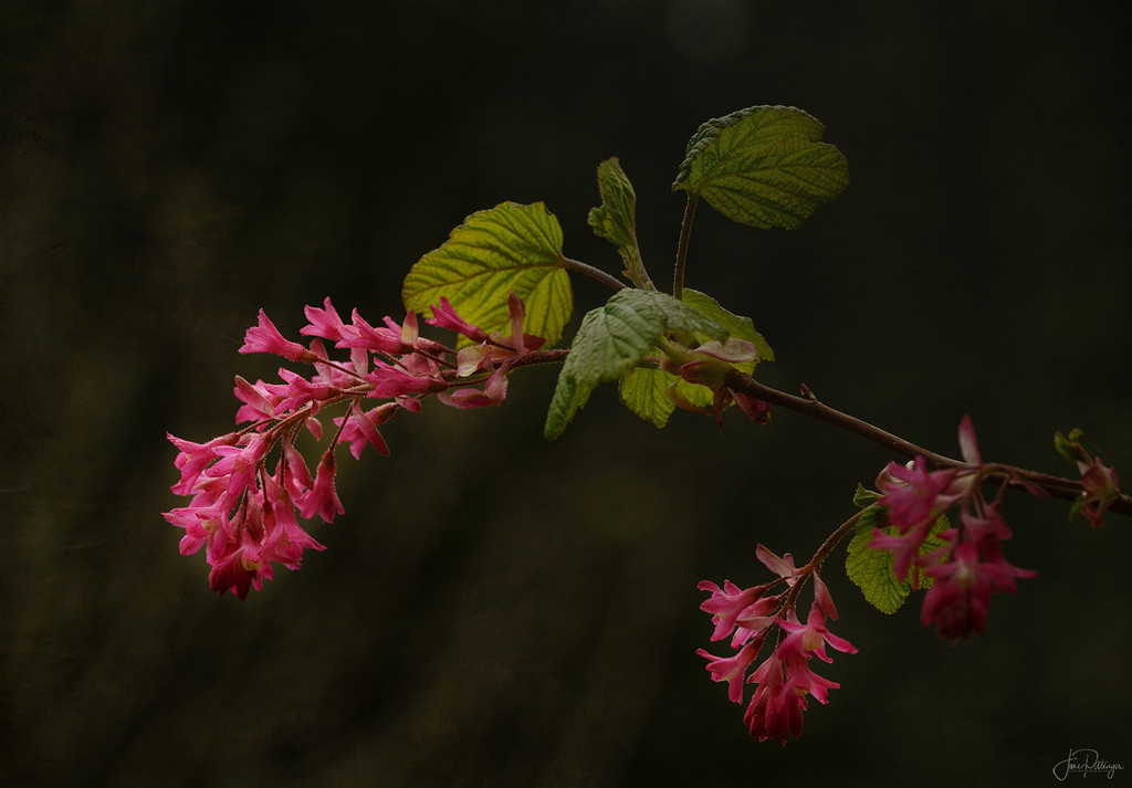 Flowering Currant by jgpittenger
