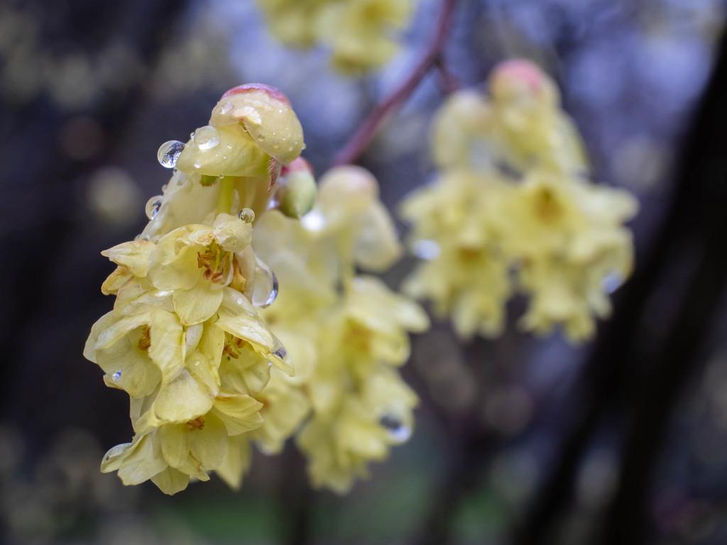 Blooming in rain by haskar